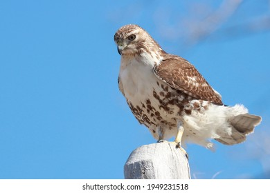 Red-tailed hawk perched on a fence.