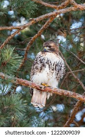 Red-tailed Hawk perched on a pine tree branch