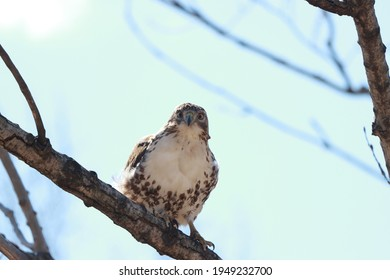 Red-tailed hawk perched on a tree branch