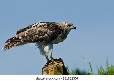 Red-Tailed Hawk Profile