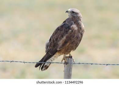 Red-tailed hawk resting on top of a barbed-wire fence in Colorado.
