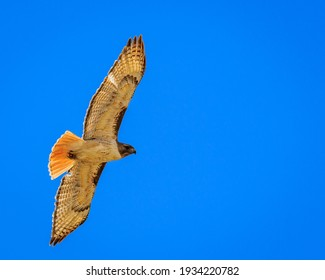 Red-tailed hawk soaring leisurely against a blue sky keeping its eye on you
