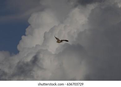 Red-tailed Hawk soaring through the skies over Phoenix, Arizona