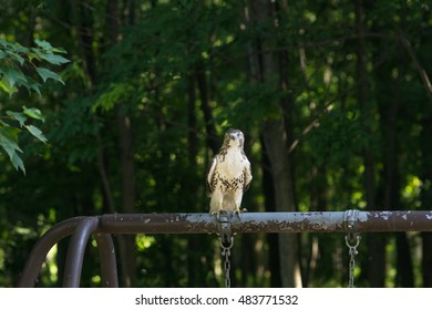 Red-tailed hawk takes a break from hunting sitting atop a swing set