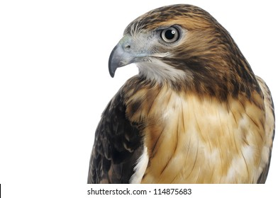 Red-tailed hawk upper body and head shot isolated on a white background.