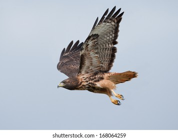 A red-tailed hawk wings through the hazy sky