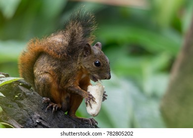 Red-tailed squirrel, Panama
