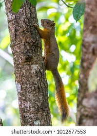 Red-tailed Squirrel (Sciurus granatensis), this small rodent abounds in large numbers in Medellín, it is normal to find it in the parks, gardens, trees and forests of the city