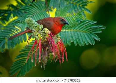 Red-throated Ant-Tanager, Habia fuscicauda, red bird in the nature habitat. Tanager sitting on the green palm tree. Birdwatching in Central America. Wildlife scene from nature, Belize.