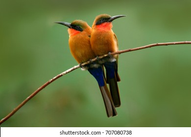 Red-throated bee-eater, Merops bulocki, Benin, Cameroon, Congo, Ethiopia, Gambia, Ghana. Detail of pair of exotic orange and red african birds with in nature habitat. Wildlife scene form nature.