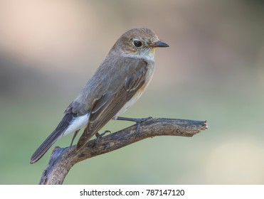 Red-throated Flycatcher, Taiga Flycatcher