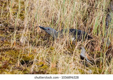 Red-throated Loon (Gavia stellata) at nest. Barents Sea coast, Timan tundra, Nenets Autonomous Okrug, Arkhangelsk Oblast, Russia