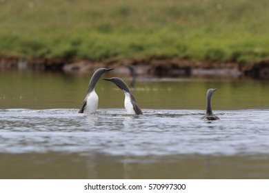 red-throated loon (North America) or red-throated diver (Britain and Ireland) Iceland