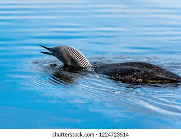 Red-throated Loon , Tromso