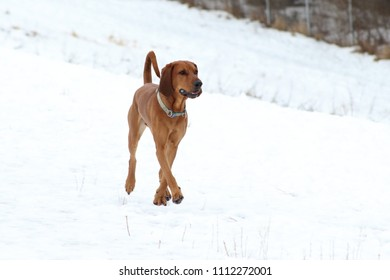 Redtick coonhound walking through a snow covered field