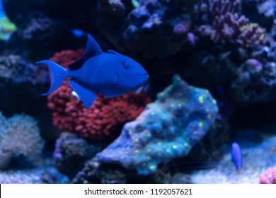 Redtooth triggerfish or niger trigger