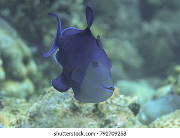 Redtooth triggerfish or niger trigger ( Odonus niger ) swims over corals of Bali, Indonesia