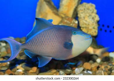 Redtooth triggerfish (Odonus niger) in Japan