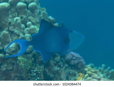 Red-toothed triggerfish ( Odonus niger ) swimming over coral reef of Bali, Indonesia