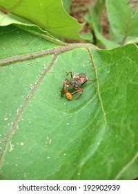 Reduviidae or Assasin bug attacks its prey, assasin eating nymph, texas preditor