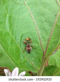 Reduviidae or Assassin bug attacks its prey, assassin eating nymph, Texas predator, on an eggplant leaf
