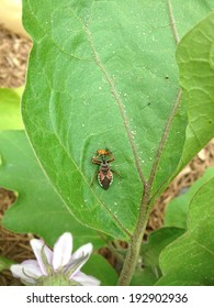 Reduviidae or Assassin bug attacks its prey, assassin eating nymph, Texas predator on an eggplant