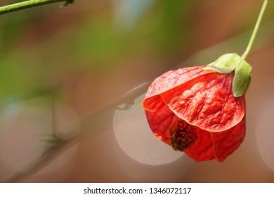 redvein abutilon or Abutilon pictum, disputed, red vein Indian mallow, Chinese-lantern