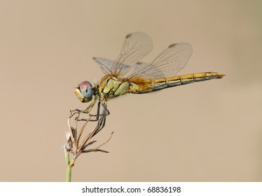 A Red-Veined Darter (Sympetrum fonscolombii) perching on a plant.