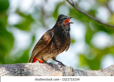 Red-vented bulbul (Pycnonotus cafer) sitting on a tree, Fiji