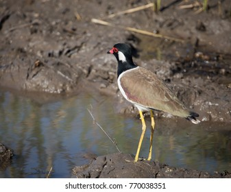 Red-wattled lapwing walking near the pond.