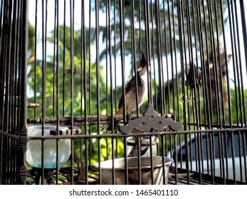 Red-whiskered Bulbul in the birdcage wants to freedom.
