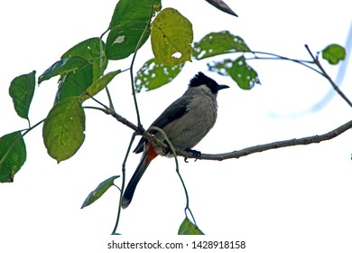 Red-whiskered Bulbul on branch in nature, Thailand