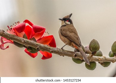 Red-whiskered Bulbul on cotton Kapok