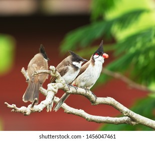 The Red-whiskered Bulbul perched on a branch of tree.