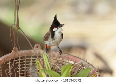 A Red-whiskered Bulbul perched on an old plastic basket in the garden.