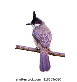 Red-whiskered bulbul or Pycnonotus jocosus, beautiful bird isolated perching on branch with white blackground in Northern Thailand and clipping path.