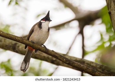 Red-whiskered; bulbul Pycnonotus jocosus Bird Red-whiskered Bulbul on the branches.