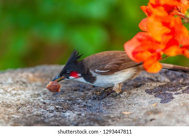 Red-whiskered bulbul (Pycnonotus jocosus) looks for food in the native habitat, Mauritius island. Selective focus.