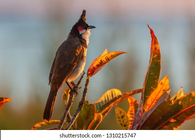 Red-whiskered bulbul (Pycnonotus jocosus) on the branch of codiaeum variegatum at sunset in the native habitat, Mauritius island. Selective focus.