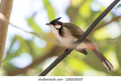 Red-whiskered Bulbul (Pycnonotus jocosus) perching on wire with green nature background.