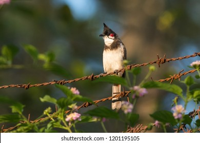 Red-whiskered Bulbul wandering around the Kabini forest, Karnataka, India.