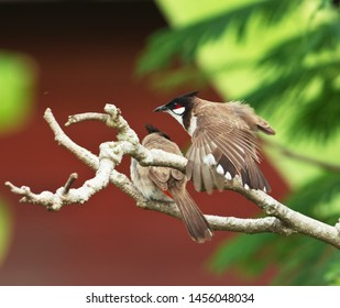 The Red-whiskered Bullbul perched on a branch of tree.