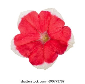 Red-white flower of petunia isolated on white background
