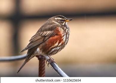 Redwing bird sitting on a railing