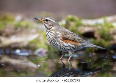 The Redwing on the Watering