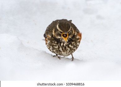 Redwing (Turdus iliacus) in Snowy Conditions in the UK