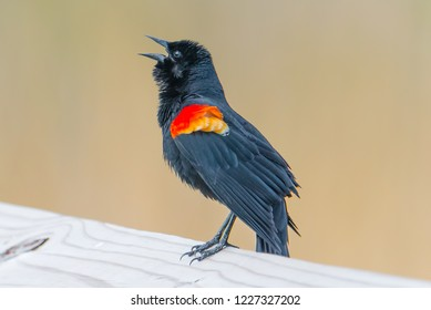 Red-winged blackbird closeup with beige background