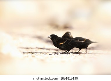 Red-winged blackbird in desert in winter