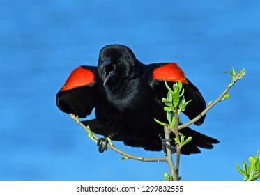 Red-winged Blackbird Display