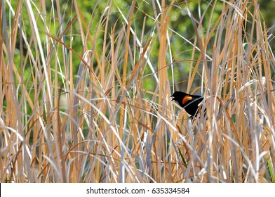 Red-winged blackbird hiding in colorful gray and tan water reeds against obscure green background.